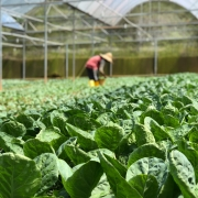 The DNA of lettuce unraveled 6000 years from weed to beloved vegetable