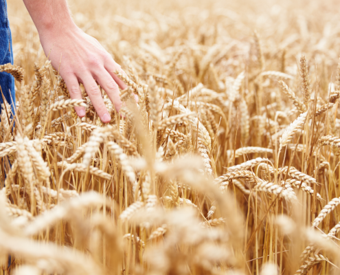 Scientists discover a protein that naturally enhances wheat resistance to head scab