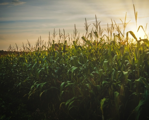 Growing sweet corn at higher densities doesn't increase root lodging risk