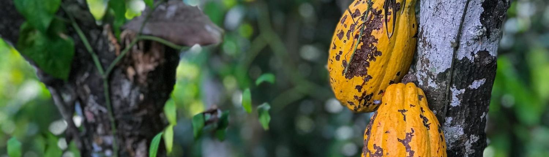 Revealing the secret cocoa pollinators