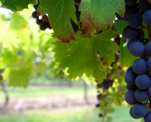 New smartphone app predicts vineyard yields earlier, more accurately