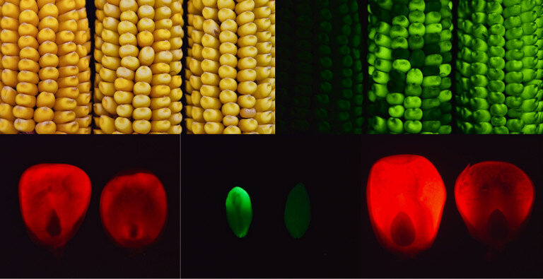 Fluorescent tagged transgenic corn was used to detect abnormal protein accumulation in mutants. The top left image shows three cobs in bright light, and the top right image shows the same three ears in blue light. The presence and absence of green fluorescence help to easily identify mutant seeds. The bottom images show protein accumulation in control (left) and mutant (right) developing seeds. Credit: Debamalya Chatterjee/Penn State