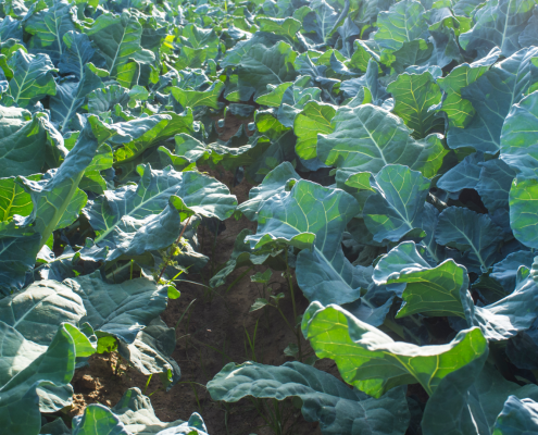 Gene research on brassicas provides potential for making better crops